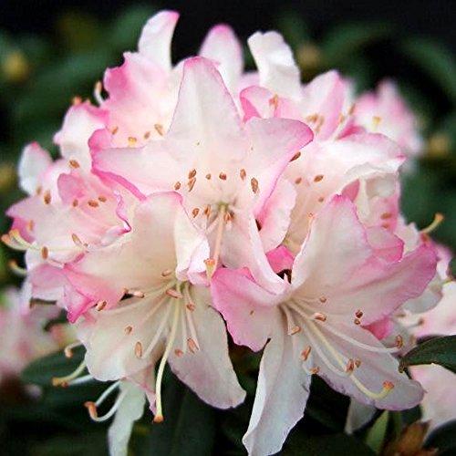 3-x-rhododendron-ginny-gee-evergreen-bushy-shrub-hardy-garden-plant-in-pot