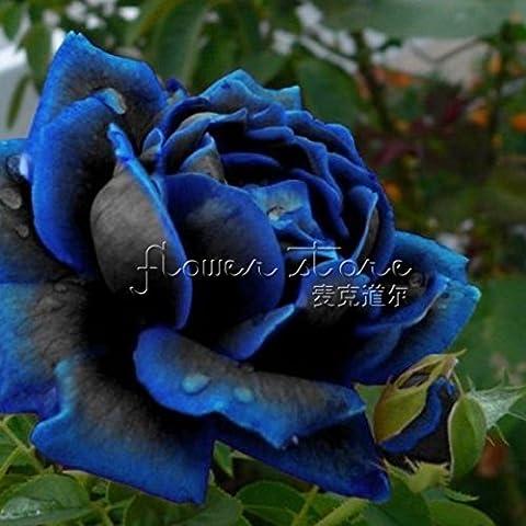 20 semi di mezzanotte Supreme Rose Splendida perenne Rose inverno Hardy - Inverno Fioritura Alberi