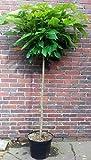 Kugel-Trompetenbaum, Catalpa bignonioides Nana, 190 cm + Dünger