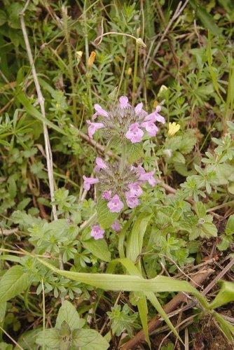 JustSeed - Wild-Blume - Wirbeldost - Clinopodium vulgaris - 3000 Samen