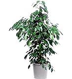 Vivai Le Georgiche Ficus Benjamina