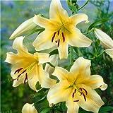 Mischfarbe Lily Samt billige Parfüm Liliensamen verschiedene Sorten Blumensamen Bonsai-Anlage für Hausgarten 100 Stück Schwarz Misch