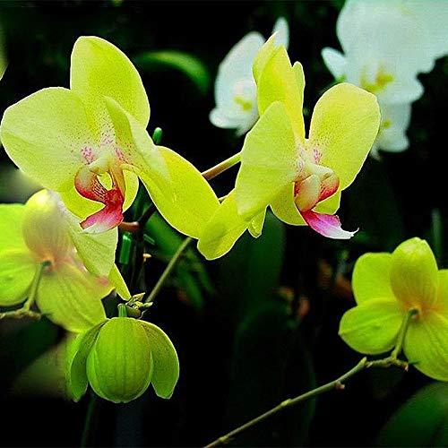 Reine Orchidee (Portal Cool Kaufen, 3 2 Free Reines Gelb Farbe Phalaenopsis-Orchideen-Blumen-Samen 200Pcs)