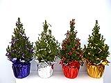 Zuckerhutfichte Conica - Picea glauca Conica mit Manschette und Kräuselband