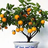 DERKOLY 30Pcs Edible Fruit Mandarin Tangerine Orange Seeds Bonsai Potted Plant Decor