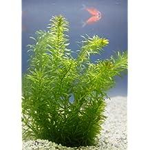 Suchergebnis auf f r teichpflanzen gegen algen for Teichpflanzen gegen algen
