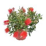 Pianta di Callistemon in vaso Diam: 17 cespuglio