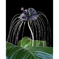 Seedeo® - Set de cultivo de flor de murciélago (Tacca Chantrieri)