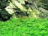 Hemianthus callitrichoides 'Cuba' - Live Plante pour Aquarium
