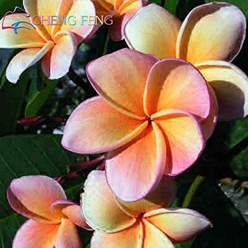 Heirloom 5 Samen Plumeria gemischte Farben Flower Bunte Frische und hohe Qualität Samen Plumeria Rubra Frangipani -