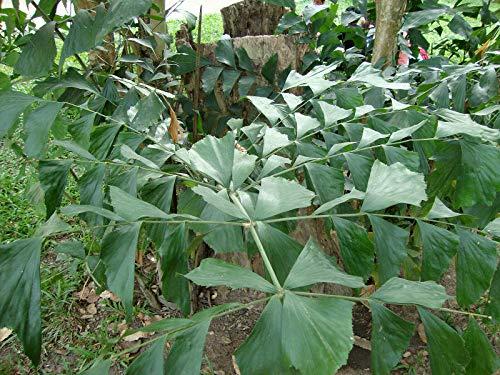 Fischschwanzpalme Caryota mitis Pflanze 5-10cm buschige Fischschwanzpalme Palme