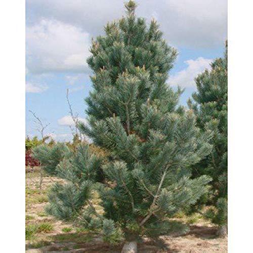 PLAT FIRM GERMINATIONSAMEN: 50 Samen: Border Kiefer Samen, Pinus flexilus reflexa, Great Border Baum, Hedges