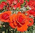 'Brillant' -R-, Strauchrose im 4 Liter Container von Rosen-Union - Du und dein Garten