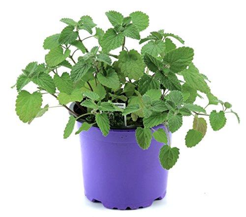 Katzenminze Pflanze im 12cm Topf, Frische Katzen Minze! Frisch aus Kontrolliertem Anbau !