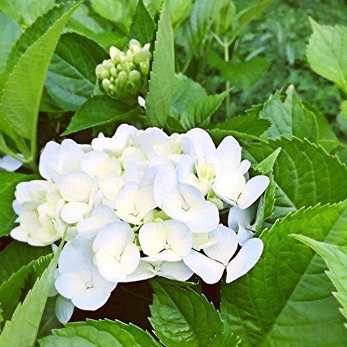ZEARO Graines de Hortensia 20 pcs/sac Bonsaï Fleur Graines Hortensia Vivaces pour Jardin, Accueil, Exterieur, Decoration- 10 couleurs