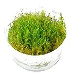 Tropica Vesicularia dubyana Christmas Moss 1-2-Grow Tissue Culture In Vitro Live Aquarium Plant Shrimp Safe & Snail Free 5