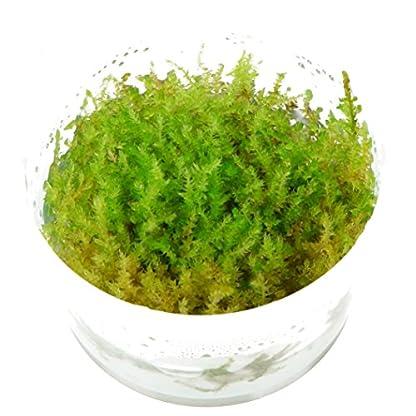 Tropica Vesicularia dubyana Christmas Moss 1-2-Grow Tissue Culture In Vitro Live Aquarium Plant Shrimp Safe & Snail Free 1
