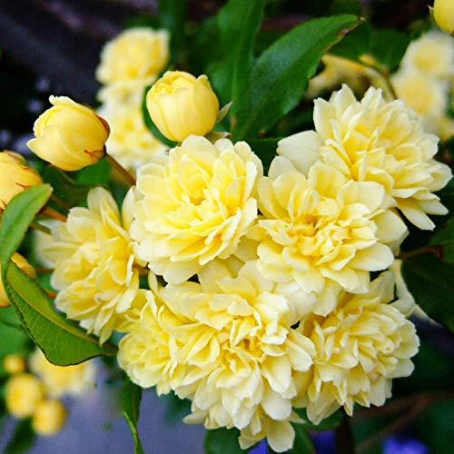 Eden-blumen 100/200 Stücke Gelb Rambler Rosen Samen Raritäten Winterhart Mehrjährig Kletterrosen - Für Wände, Rosenbögen, Pergola Zäunen, Gartenhäuschen Und Bäumen (200pc)