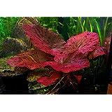 1 x Plante à bulbe vivante pour aquarium–Nymphaea Lotus Zenkeri - Tigre Rouge–Plante tropicale pour aquarium, idéale comm