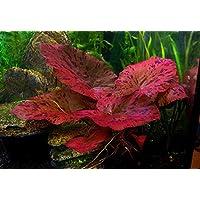 1bulbo de acuario vivo de Nymphaea rubra (red tiger Zenkeri lotus) para acuario, ideal para peces tropicales como el beta