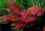 AquariumpflanzeNymphaea Rubra Red Tiger Zenkeri Lotus–Pflanze für tropische Aquarien, Versteck für Fische, 1 Zwiebel