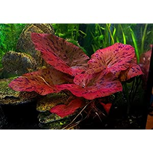 Biotope Aquatics Ltd 1 x live aquarium bulb – NYMPHAEA RUBRA Red Tiger Zenkeri Lotus – plant tropical fish tank hide for…