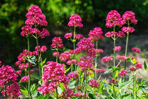 Rote Spornblume 40 Samen (Centranthus ruber 'Coccineus)