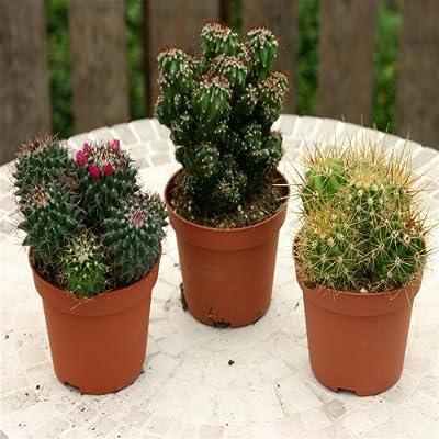 Kaktus Mischung - 3 pflanzen