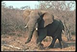 107080 African Elephant Big Bull Threatening_Charging A4 Photo Poster Print 10x8