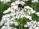 Portal Cool Gemeinsamer Baldrian Valeriana officinalis Hardy Staude 700 Samen