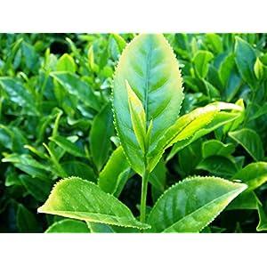 51rpE4HJASL. SS300  - Tee Camellia sinensis Pflanze 25-30cm echte Teepflanze Teestrauch Rarität