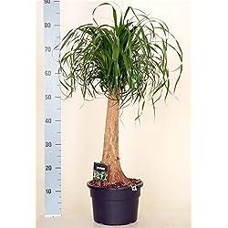 Elefantenfuß, (Beaucarnea recurvata), pflegeleichte Zimmerpflanze, ca. 65 bis 75cm hoch im ca. 23cm Topf
