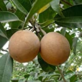 #8: Shubham Nursery Buy Online Chikoo (Chiku) or Sapota Hybrid Grafted Variety Tree Live Plant Sapling Online in India