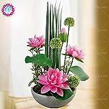 Shalala 5 PC 24 Farbe hydroponischen Teichpflanzen B Garten