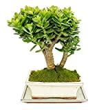 Bonsai - Desert Bonsai - Money-Tree- Crassula - 6-7 years old