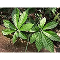 Asklepios-seeds® - 100 Semillas de Gynostemma pentaphyllum yiaogulan, orquídea de la vid enroscada