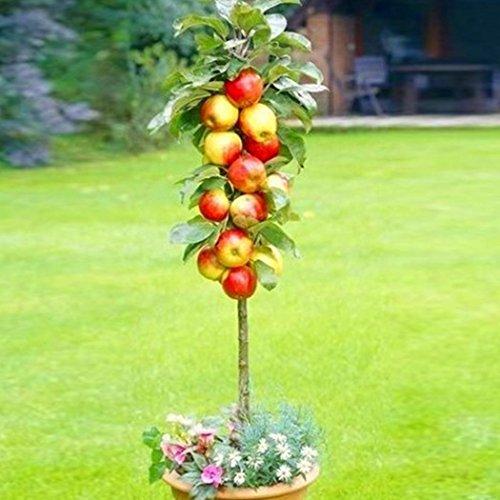 mymotto Kirschsamen Orangesamen Apfelsamen Actinidia Samen Bonsai-Baum-Samen Bio-Fruchtsamen (Apfel) (Bio-apfel-samen)