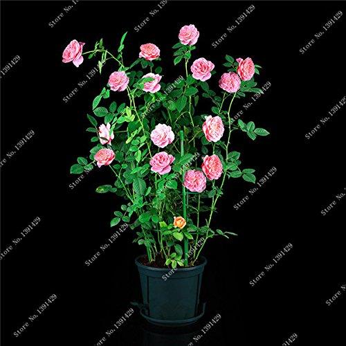 Exotique Rosas / Rose semences vivaces Jardin des plantes Bonsai Fleur, Pots de fleurs Pots Paysagement décoratif 120 Pcs / Sac 1