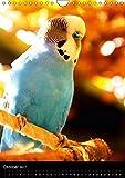 Wilde Wellensittiche (Wandkalender 2017 DIN A4 hoch): Wunderschöner Wellensittichkalender mit atemberaubend schönen und farbenprächtigen Fotografien … (Monatskalender, 14 Seiten ) (CALVENDO Tiere) - 11