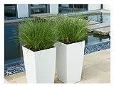 Carex howardii 'Phoenix Green' 1 Liter (Ziergras/Gräser/Stauden) Segge