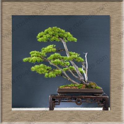 Immergrüne Baumsamen Japanische Kiefer Bonsai-Baum-Samen Holly Blatt Kiefer Samen 100 PCS/bag Sky Blue