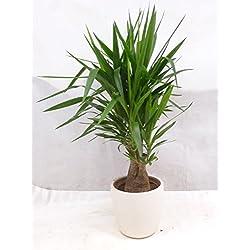 [Palmenlager] Yucca elephantipes verzweigt - Mutterpflanze - fetter Stamm - 130 cm // Zimmerpflanze Palme