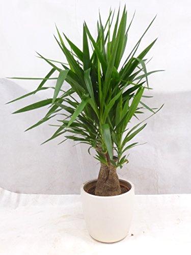 [Palmenlager] Yucca elephantipes verzweigt - Mutterpflanze - fetter Stamm - 130 cm//Zimmerpflanze Palme