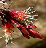 Rot-Ahorn Acer rubrum 50 Samen