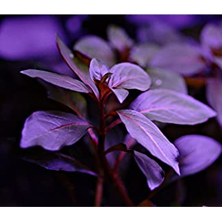 Ludwigia Repens Diamond Red x1 bunch - Live aquarium plant 10