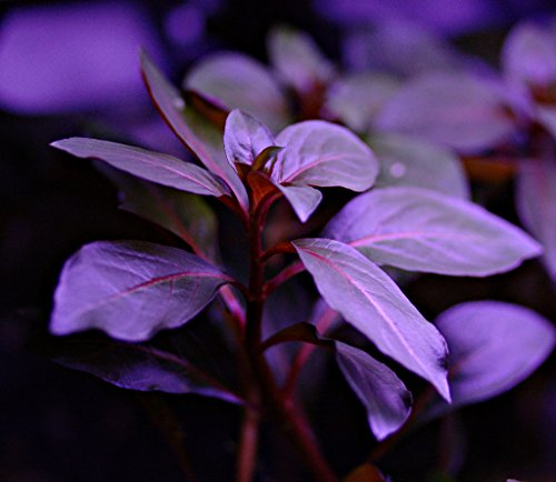 Ludwigia Repens Diamond Red x1 bunch - Live aquarium plant 1