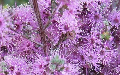 Portal Cool Violet a Seed Hardy e Immergrün Mut St Dürre und Frost Tolerant