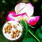 Rosepoem Rose hybride de jardin de thé de thé - fleurs blanches avec le parfum rouge de bords-forts