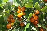 Vierbeere Orangesse - junge kräftige Pflanze im 5lt. Container
