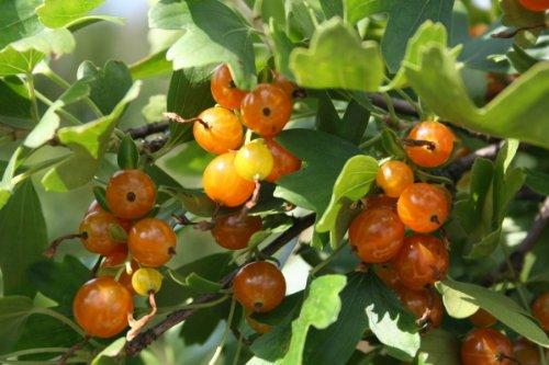Vierbeere® Orangesse® - junge kräftige Pflanze im 5lt. Container